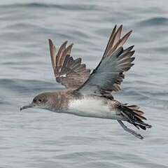 Black-vented-Shearwater-losangelesyachtcharter