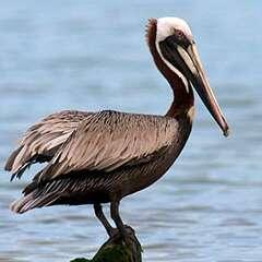 Brown-Pelican-losangelesyachtcharter