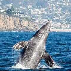 Grey-Whale-losangelesyachtcharter