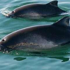 Harbor-Porpoise-losangelesyachtcharter