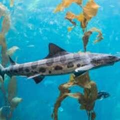 Leopard-shark-losangelesyachtcharter