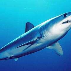Mako-shark-losangelesyachtcharter