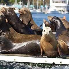 Sea-lions-marina-del-rey-losangelesyachtcharter