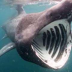 basking-shark-losangelesyachtcharter