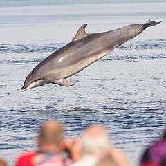 bottlenose-dolphins-losangeleyachtcharter