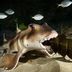 horn-shark-losangelesyachtcharter