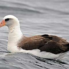 laysan-albatross-losangelesyachtcharter