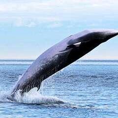 minke-whale-losangelesyachtcharter